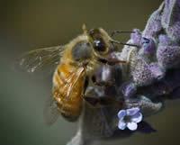 Bee My Lavendar
