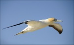 """Gliding Gannet"" - Highly Commended, Advanced Digital Image - ©Hugh Scott"