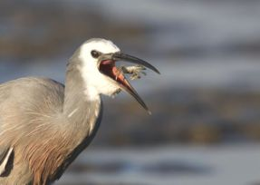 """White Faced Heron"" - Honours, Intermediate Print - ©Gavin Klee"