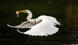 """Kotuku (White Heron) flies away with dinner"" (c) Chris Helliwell"