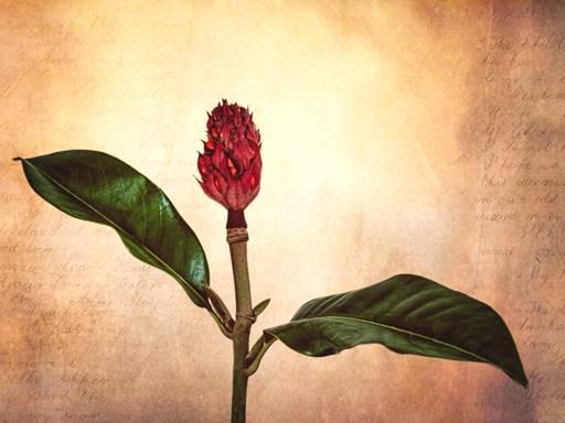"""Grandiflora Adiós"" - Honours, Intermediate Digital Image - ©Rachel Stevens"