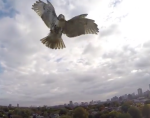 Hawk Attaching Drone