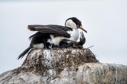 nesting-blue-eyed-cormorant