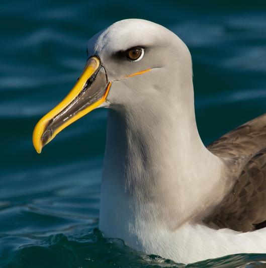 Bullers Albatross.Teresa Angell.N