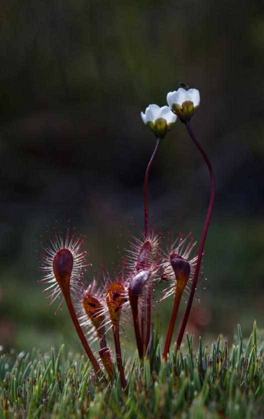 Drosera stenopetala.Carol Molineux.N.jpg