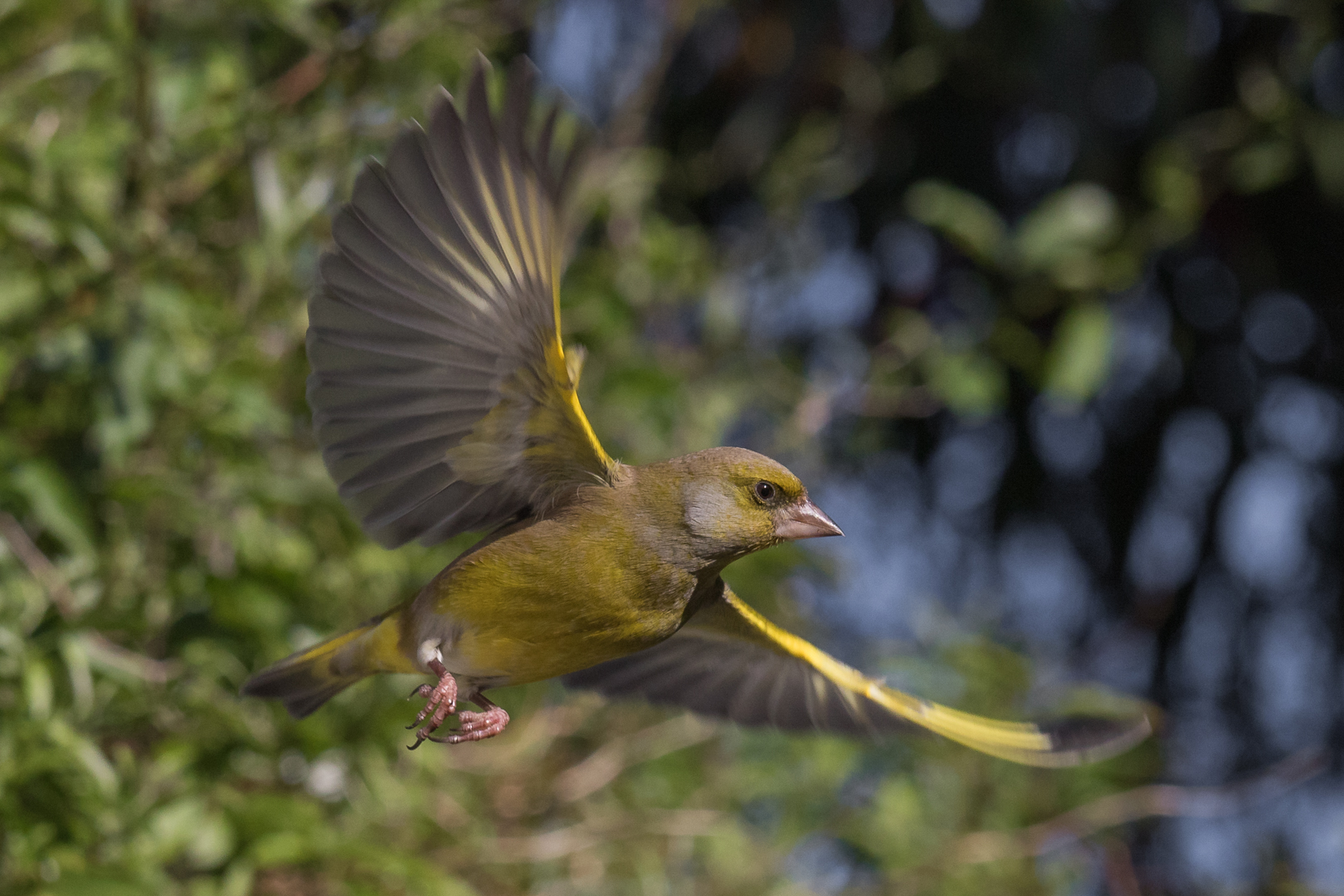 European Greenfinch.Teresa Angell.N