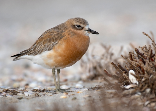RB - New Zealand Dotterel
